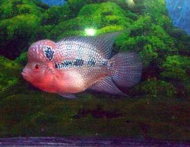 Imported Flowerhorn Collections For Sale