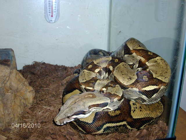 7ft Red Tail Boa