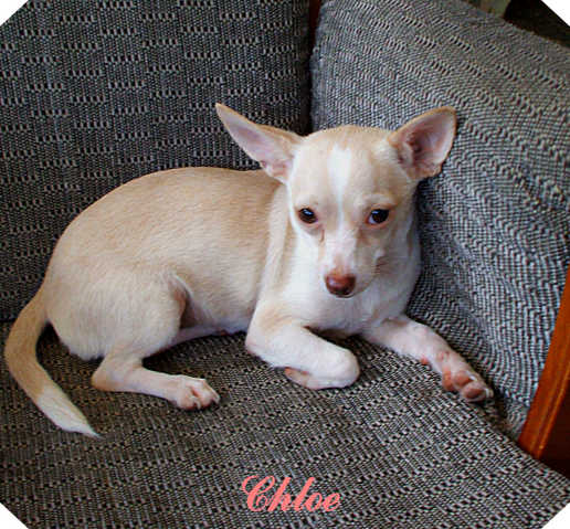 Chihuahuas Need Homes