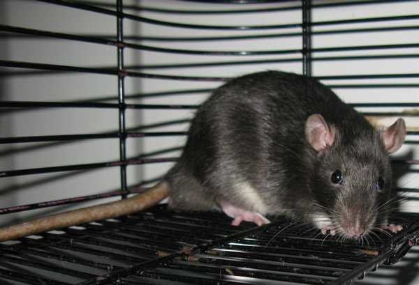 2 Male Rats ($7 Re - Homing Fee) And More Soon To Be Available.