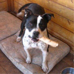 Chloe - Mix Staffie (Gorgeous, With Beautiful Markings)