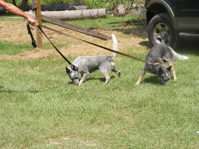 Austrailian Blue Heelers Brothers Free To Good Home