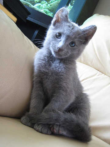 Tica Reg Russian Blue For Sale