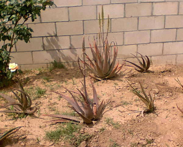 Aloes In Different Size For Sale