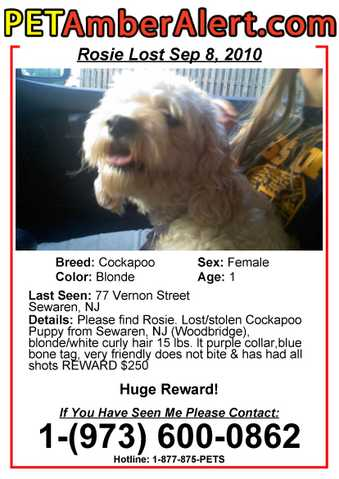 Lost Cockapoo Dog