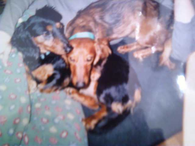 2 Dachshunds Need Home