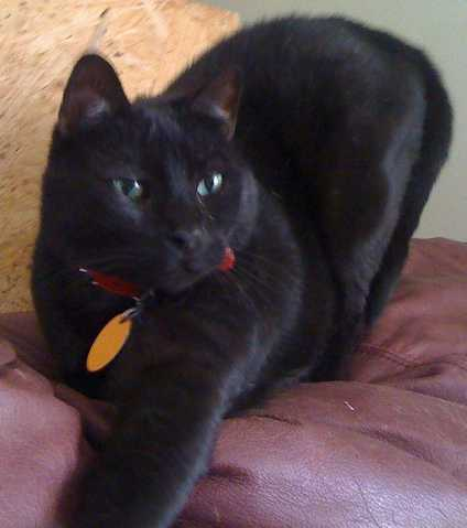 Lost Large Black Cat - Guido