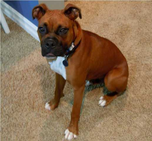 9 Mo Old Male Boxer Needs New Home
