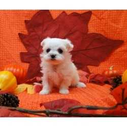 Ckc Registered Male Maltese Puppy For $200