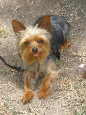 Lost Toy Yorkie