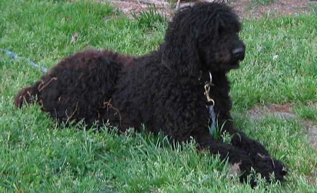 Lost Or Stolen Standard Black Poodle