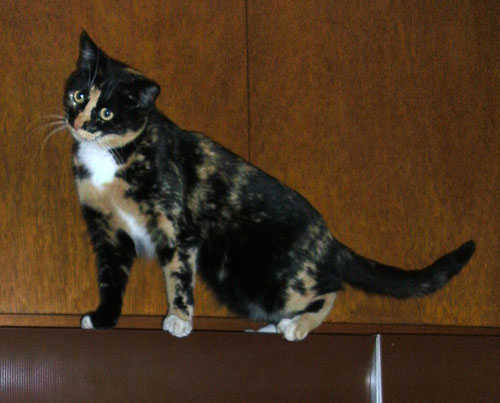 Calico Cats For Sale In San Diego