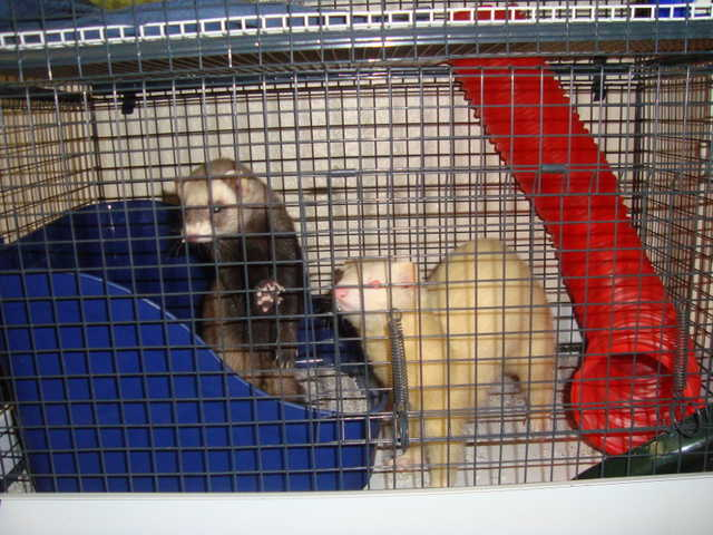 2 Ferrets To Be Re - Homed