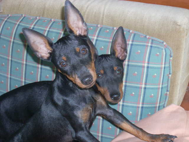 Female Akc Manchester Terrier Toy - 5 Months Old