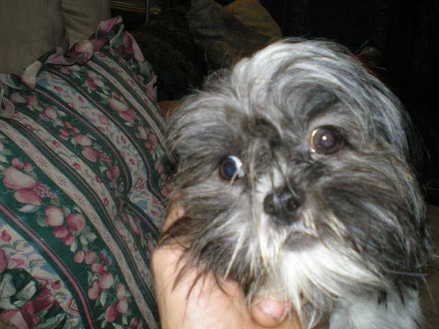 Lost Shih Tzu Dog