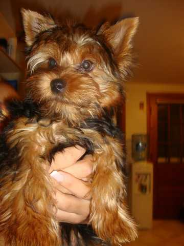 Teacup Male Yorkie For Stud Fee Or Pick Of The Litter