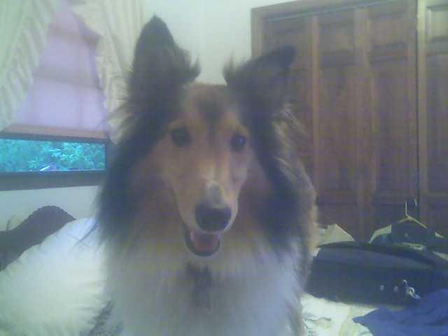 Lost Sheltie $ Reward $