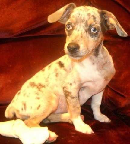 Full Blooded Rat Terrier - $150