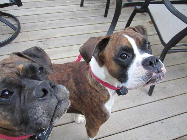 Missing Male Brindle And White Boxer