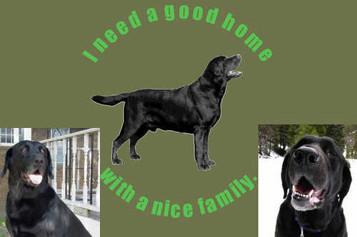 Black Lab Great Family Pet)