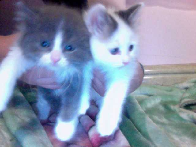 Ragdoll Brothers 6 Weeks Ready To Find Their Forever Loving Home