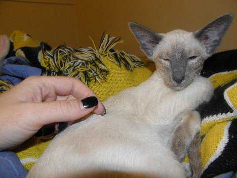 Gorgeous Blue Point Siamese Wedge