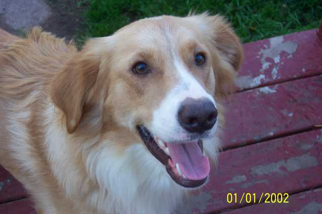 Missing Collie Mix