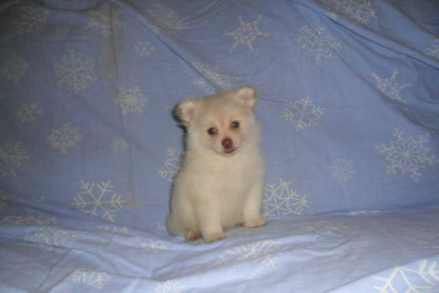 Pomeranian Puppy (Michigan)