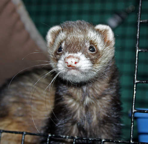 Rescued Ferrets For Adoption