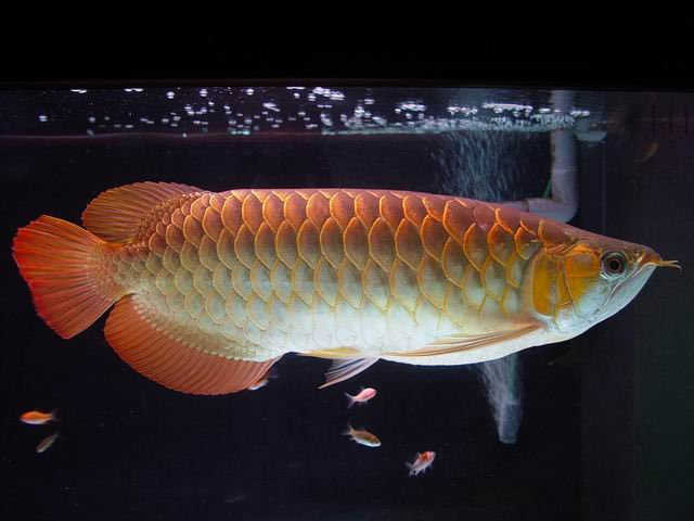 Golden, Super Red, Green And Blue, Red Tail, Golden,