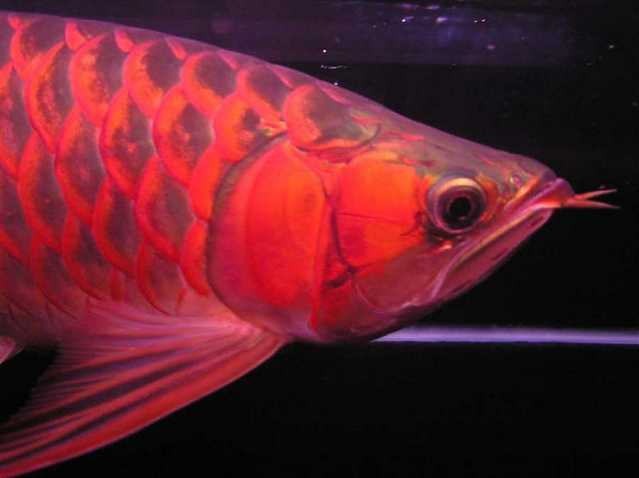 Super Quality Arowana Fishes Available For Sale - $250