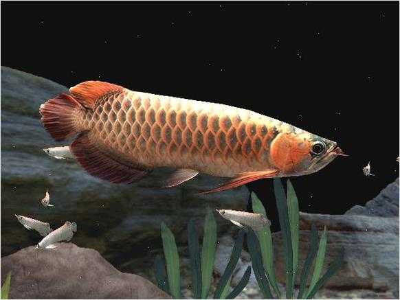 Chilli Red, Xback And Golden Asian Arowanas Available