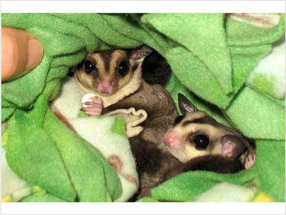 Pair Suger Gliders $150
