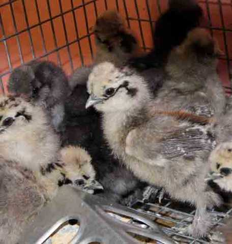 Chicks! Bearded Bantam Silkie Chicks Available Now