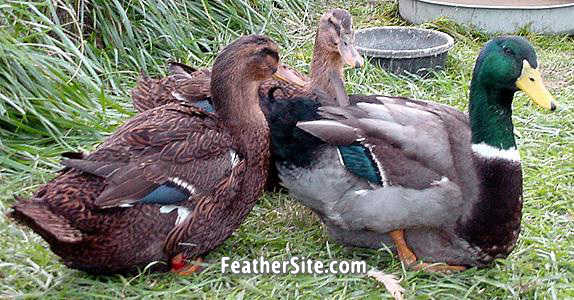 * Ducks * (Price Drop) 5 Female Rouen Ducks - Sisters - (9 Months Old)