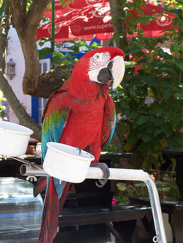 Blue And Red Macaw Parrot For Sale