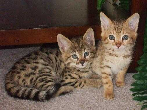 Cute F1 Savannah Kittens For Sale