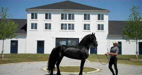 Beautiful Friesian Horse For Sale.