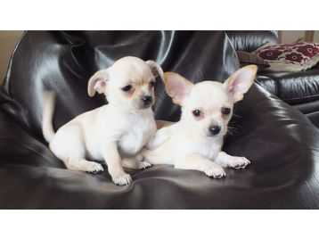2 Tiny Gorgeous Chihuahua Pups
