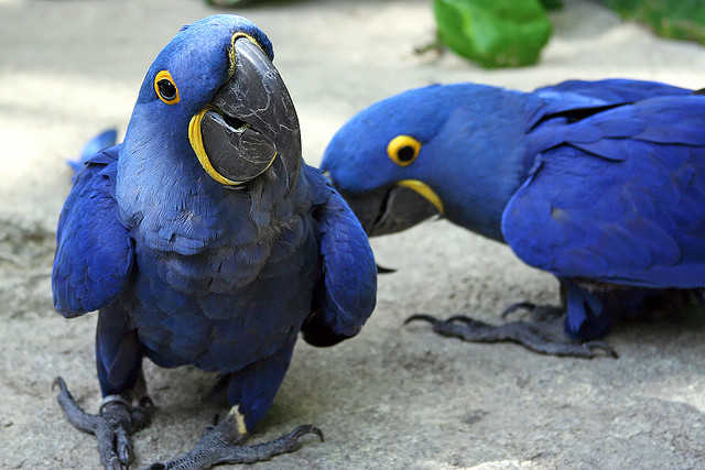 Free Birds (Pair Of Hyacinth Macaw Parrots ) Needs A New Home