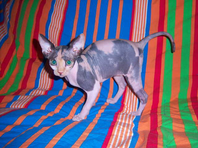 Sphynx Hairless Kittens