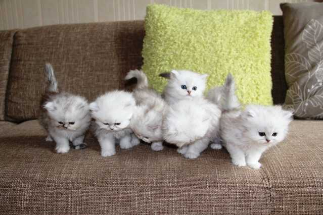 Fantastic Silver Shaded Persian Kittens With Pedigree