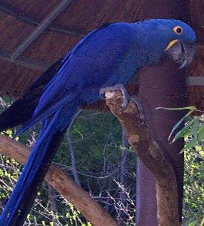Hand Fed Hyacinth Macaw Parrots For Sale