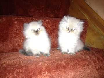 Colourpoint Persian Kittens
