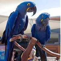 Dna Proven Hyacinth Macaw Parrots