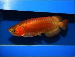 Arowana Fishes For Sale At Affordable Prices This X - Mas Text (657