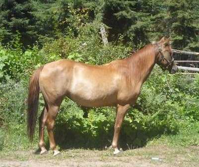Beautiful Registered Morgan Mare