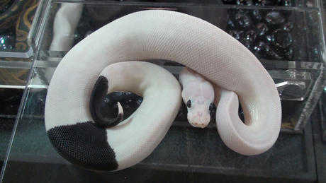Cute, Healthy And Loving Piebad Ball Pythons For Sale