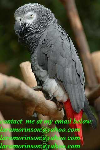 Very Playful Male And Female African Grey Parrots