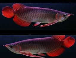 Quality Super Red Arowana Fish And Many Others For Sale